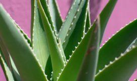 Coltivazione aloe vera in vaso