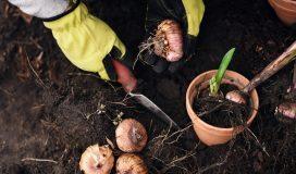 come si semina la cipolla