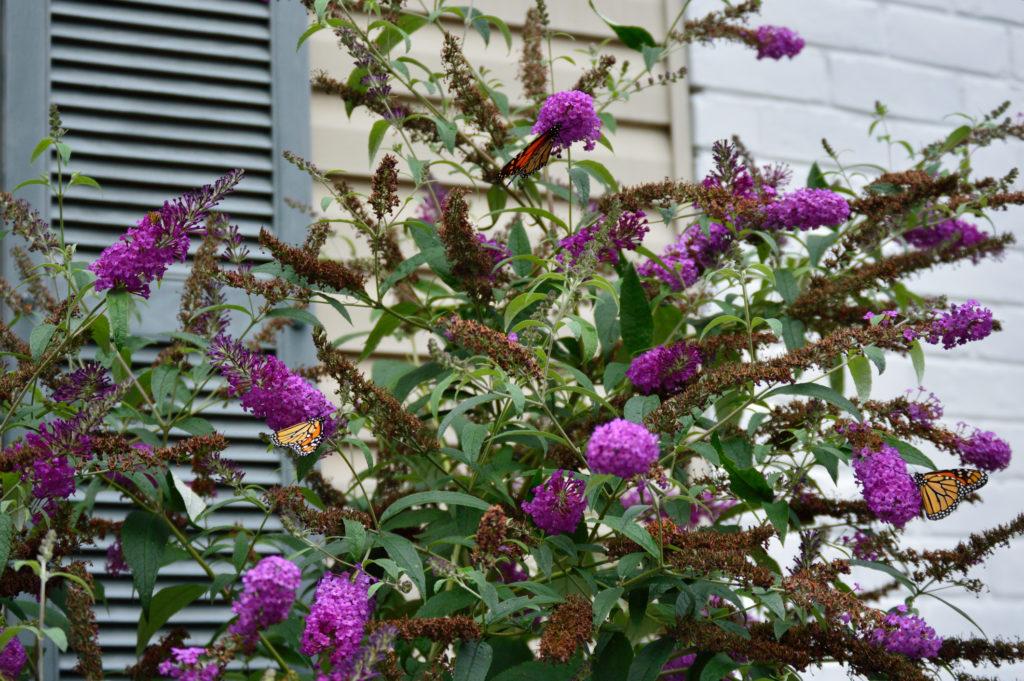 Come coltivare albero delle farfalle o buddleja