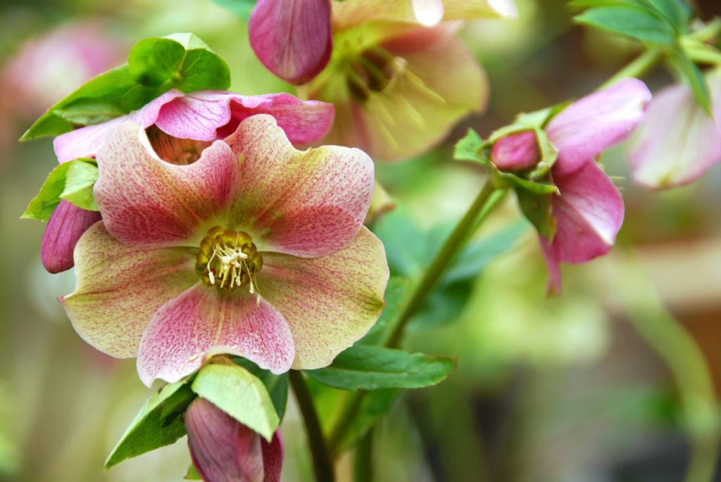 Fiore rosa di elleboro orientale