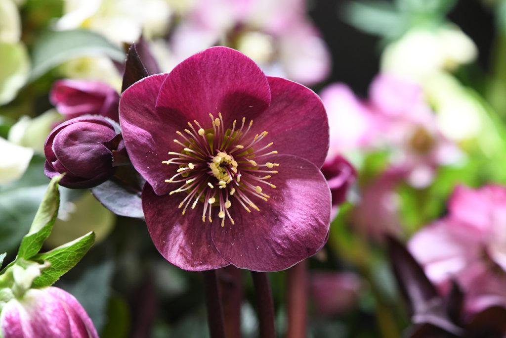 Rosa di Natale - Helleborus Niger di colore violaceo