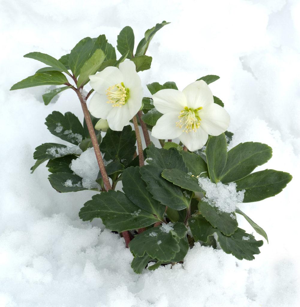 Rosa di Natale - Helleborus Niger di colore bianco