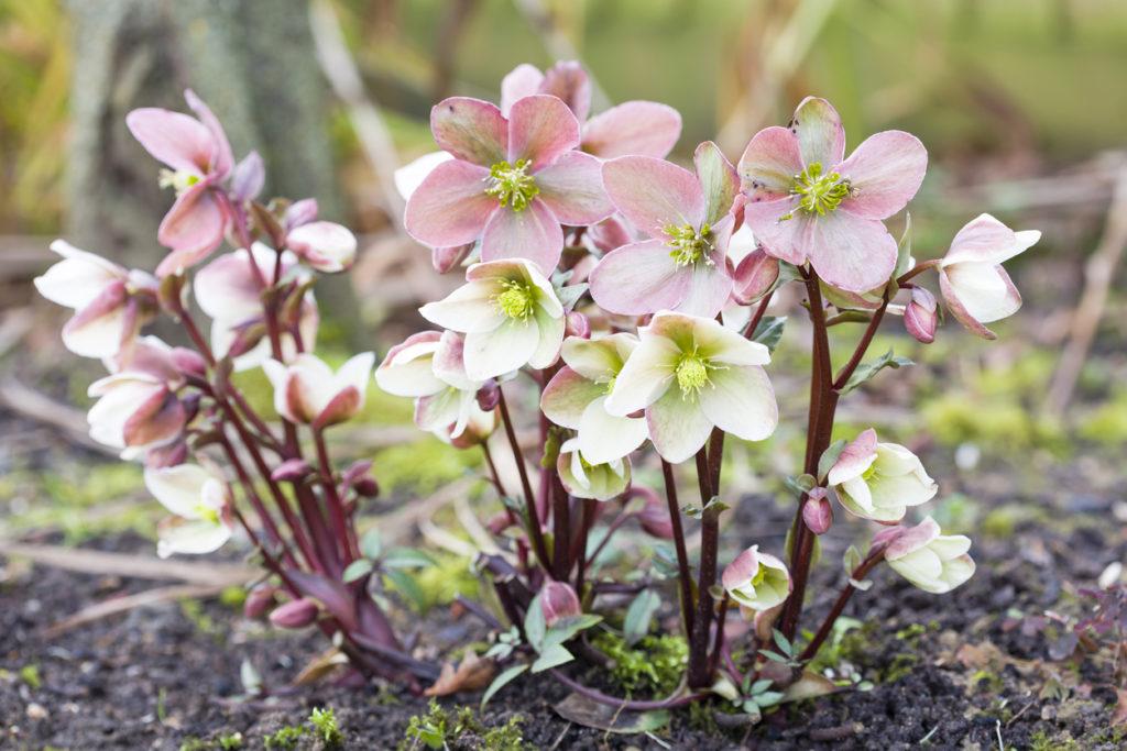 Elleboro con fiori di colore rosa pallido