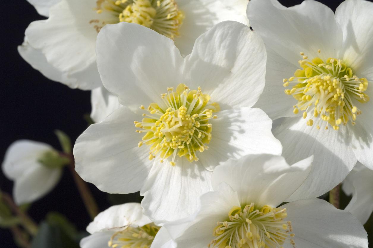 Rosa di Natale - Helleborus Niger con fiore bianco