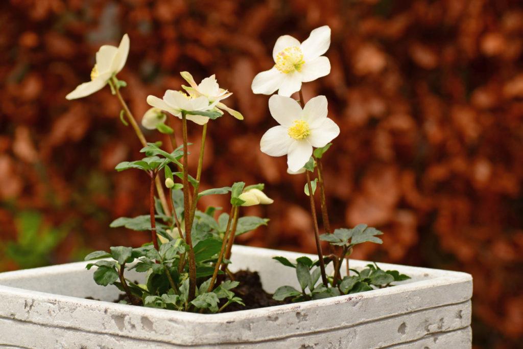 Rosa di Natale con fiori bianchi