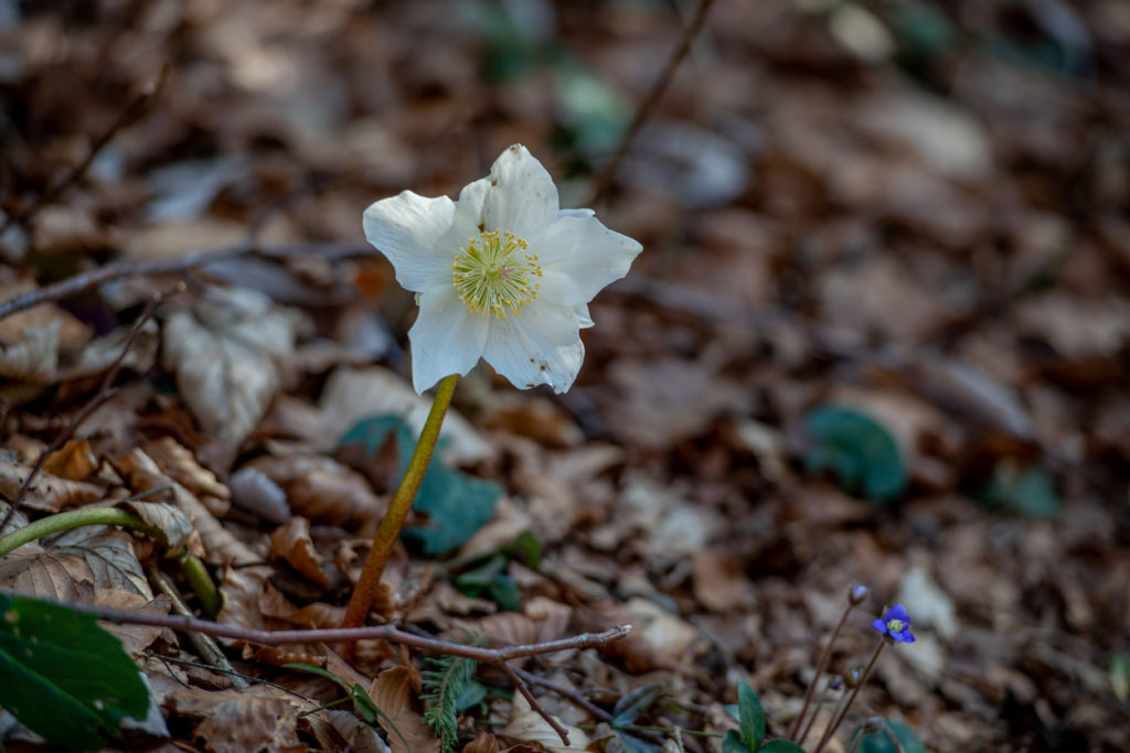Elleboro con fiore bianco fiorito nel sottobosco