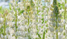 Fiori della pianta di lupino bianco