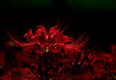 Fiore giglio ragno rosso giappone