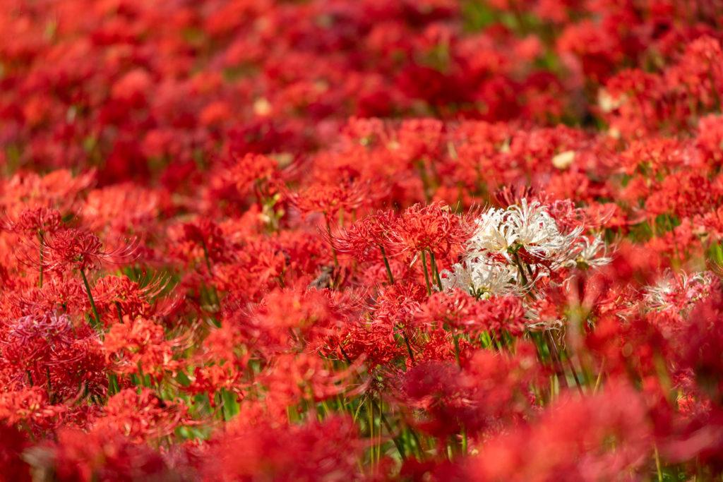 Campo di giglio del ragno rosso