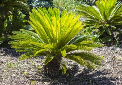 cycas la pianta coltivazione