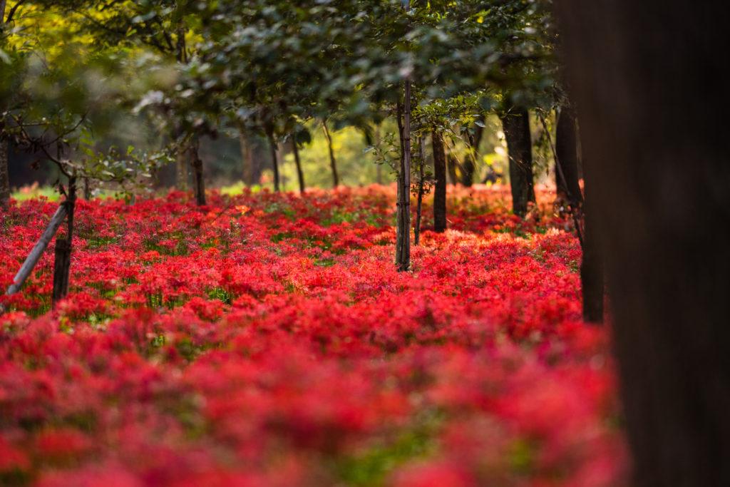 campo di lycoris radiata