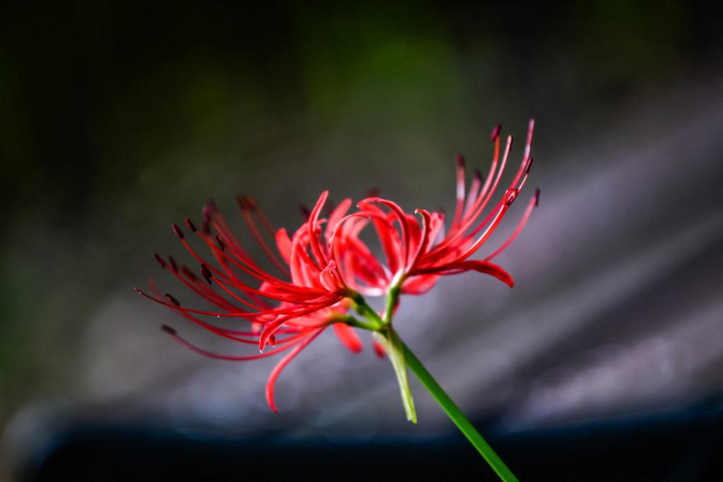 Fiore giglio ragno rosso_01