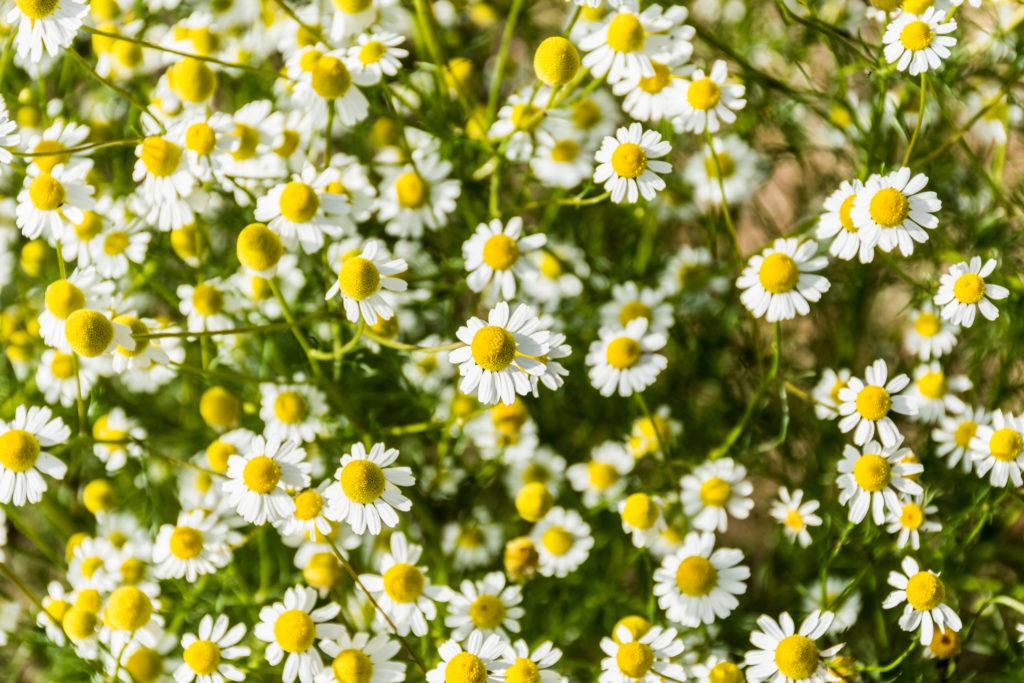 Pianta officinale di camomilla in fiore