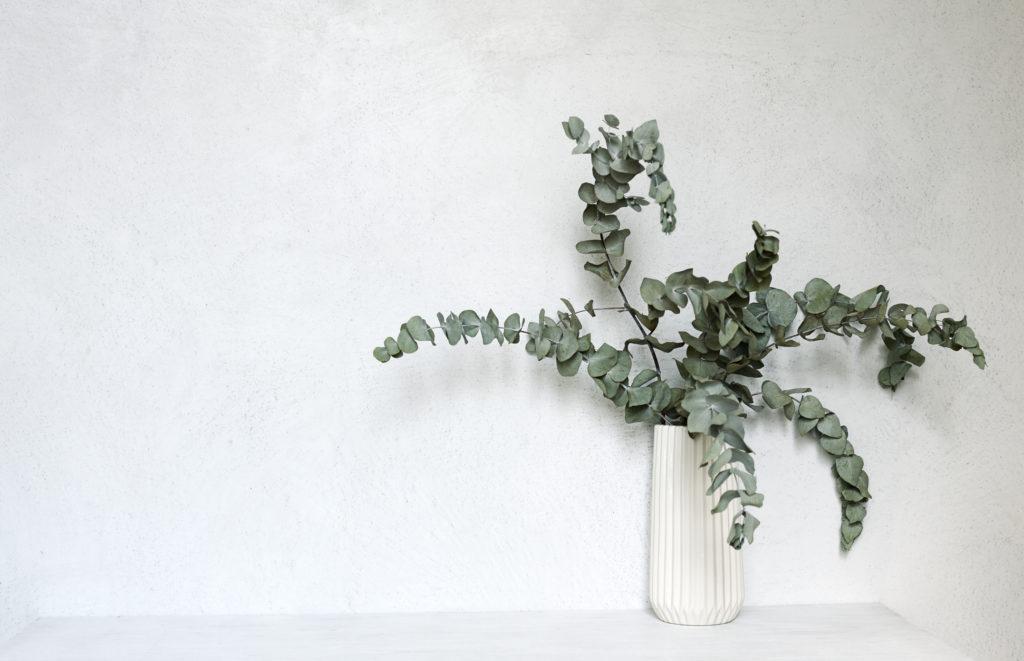 Pianta officinale di eucalipto in vaso