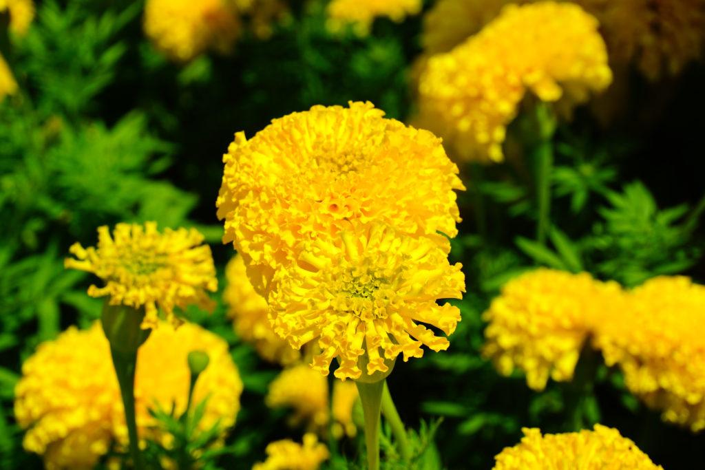 Pianta officinale di crisantemo in fiore