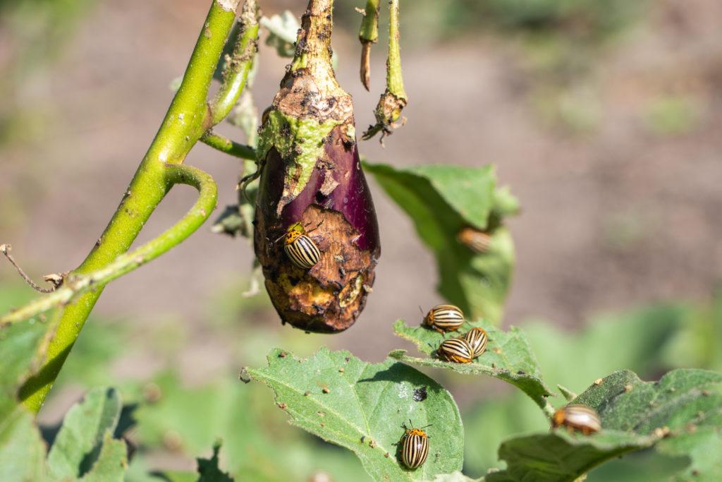 Foglie mangiate Dorifora melanzana parassita