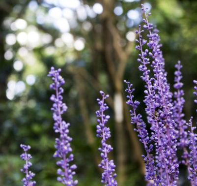 giardino fiorito anche in inverno coltivazione Liriope muscari